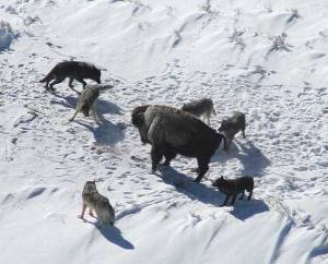 A wolf pack controlling the movement of their prey.