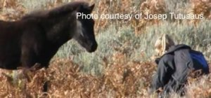 "A wild pony foal showing no instinctive fear of the human ""predator"". Borrowed from Epona.TV"