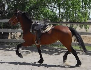 Tally, after three months of round pen training. Compare the carriage and balance to her lunging picture below.