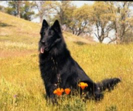 Hurri, one of the Belgian Sheepdogs that showed me what it was like to be around truly well trained dogs