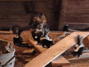 "Last year's little brood, enjoying the ""obstacle course"" of scrap lumber"