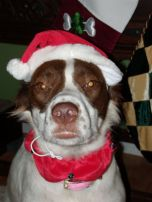 As my dog Macie can attest, horses are not my only Santa Hat victims.  Here Macie is doing her best Grinch impression.