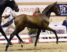 Typical of the top selling foals I'm seeing - showing a lack of connection between neck, back and haunches; and disjointed  front and hind leg action. Warmbloods have lost the natural thrust and carrying power they had not long ago.