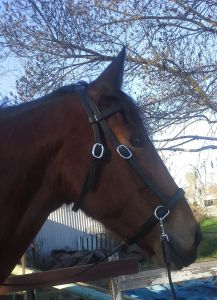 Tally modeling her new bridle.