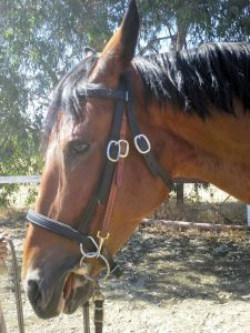 Tally enjoying a carrot in her Happy Mouth bit and bitless bridle.