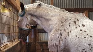 Hard to accept that such a robust horse as Nash, seen here telling young Noble who is boss, is becoming fragile in unseen ways.